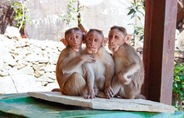 Monos roban muestras de sangre de pacientes con Covid-19